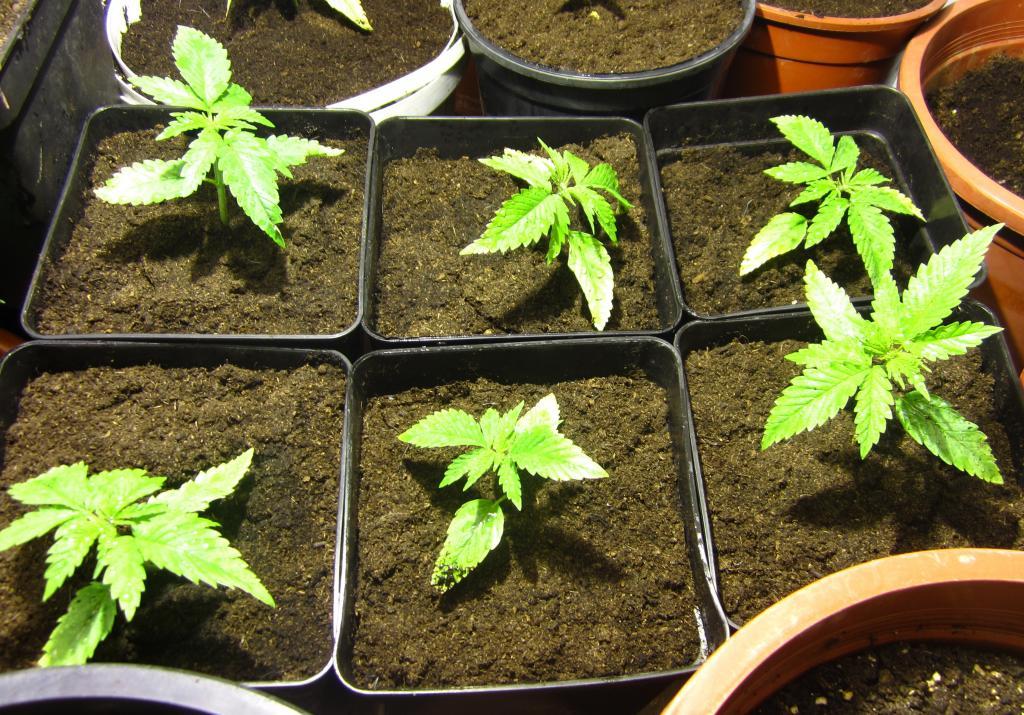 Purple lady de arcuma variedades de marihuana for Interior 600w seguimiento