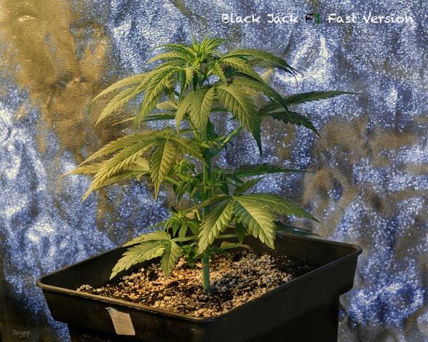 Blackjack marihuana exterior
