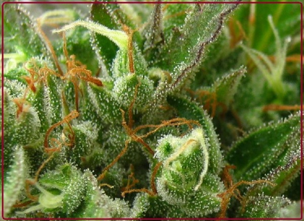 Sinai de the real seed company variedades de marihuana for Produccion marihuana interior