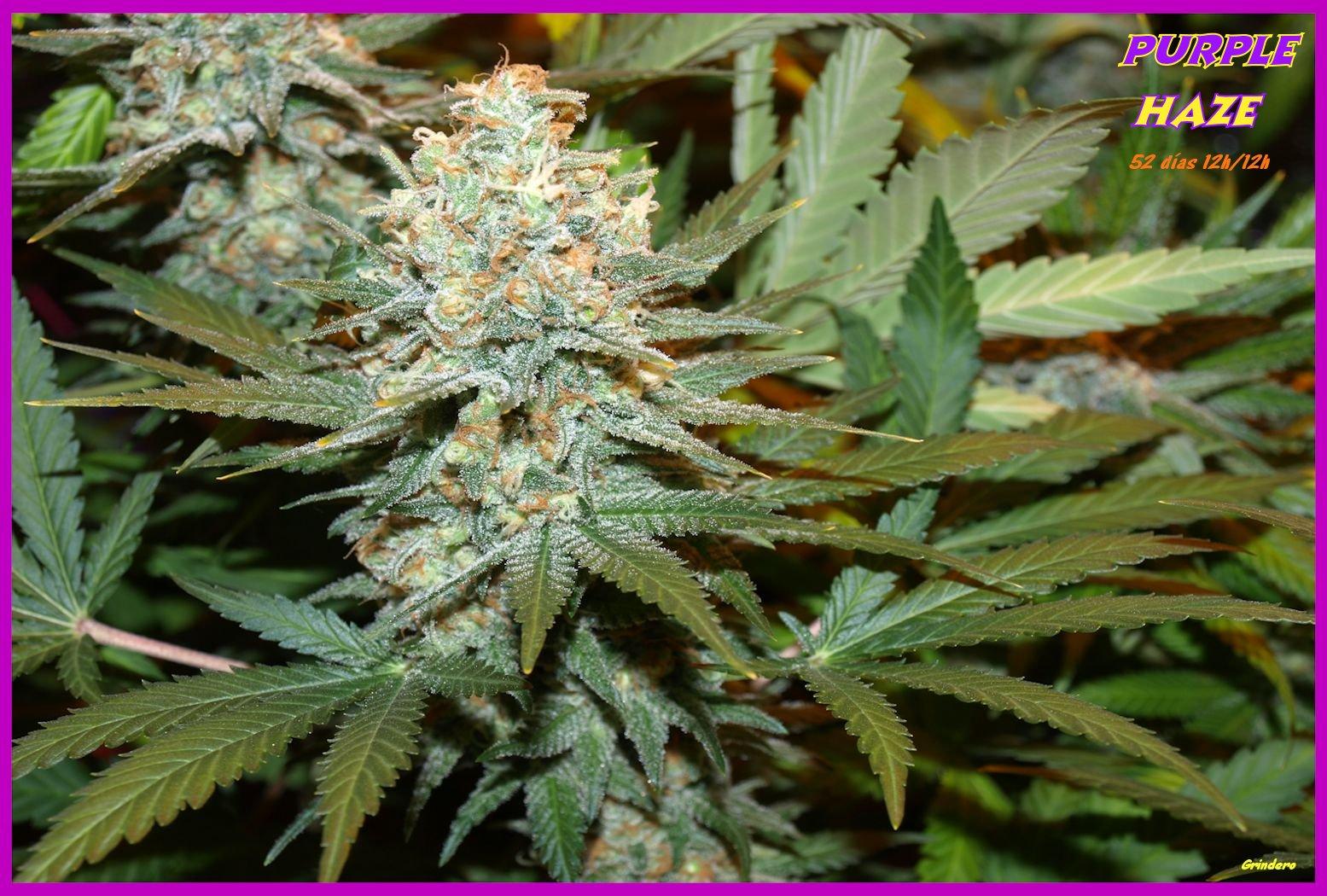 Purple haze de ace seeds variedades de marihuana for Produccion marihuana interior